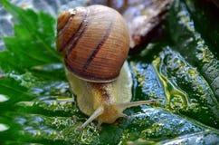 Snail. Gastropod. Gastropod. Common garden snail. Fauna of Ukraine royalty free stock images