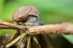 Gastropod Royalty Free Stock Photography