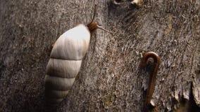 Gastropod mollusk Brephulopsis cylindrica crawling on tree bark. Ground gastropod on tree bark, Odessa, Ukraine stock video