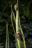 Gastropod on plant Stock Images