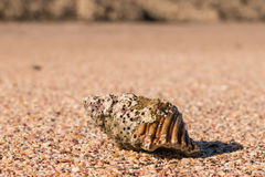 Gastropod seashell on sandy beach Stock Photos