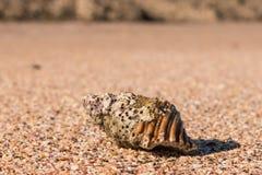 Gastropod seashell on sandy beach Stock Photos
