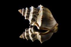 Gastropod shell Royalty Free Stock Image