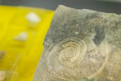Gastropod shell fossil for education back to the early Cambrian. Royalty Free Stock Photos