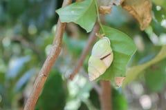 Gastropode merald 免版税图库摄影