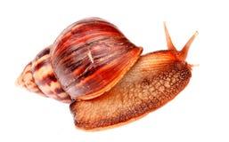 Gastropodsnail som isoleras in på vit Royaltyfri Foto