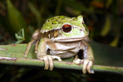Gastrotheca riobambae Royalty Free Stock Photos