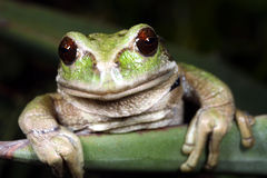 Gastrotheca riobambae Stock Photo