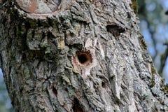 gat op een boom door een specht wordt gemaakt om voedsel te krijgen dat boom in de wil stock foto's