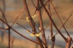Gatablomman av den tidiga våren i Peking Royaltyfri Foto