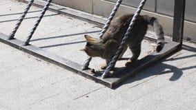 Gatastrimmig kattkatten kopplar av på gatan på en solig dag Leka med sj?lvt stock video