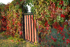 The gate and decorative vine leaves with red leaves. Autumn rura. L landscape Stock Photos