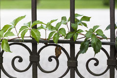 Gate with ivy Stock Image