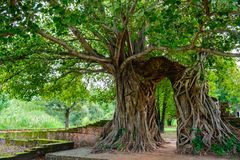 Gate of time. Arch of bodhi Tree. Unseen Thailand at Wat Phra Ngam, Phra Nakhon Si Ayutthaya, Thailand. royalty free stock images