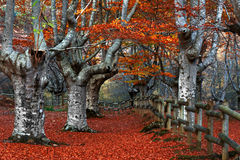 Gated beech forest Royalty Free Stock Photography
