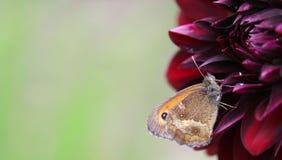 Gatekeeper. A pyronia tithonus or Gatekeeper on a Dahlia Stock Photos