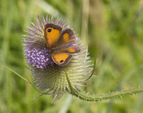 Gatekeeper Butterfly Royalty Free Stock Photography