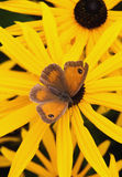 Gatekeeper butterfly. Gate-Keeper Butterfly, or hedge-brown, camouflaged on a rudbeckia blossom Stock Photography