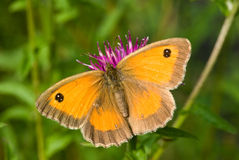 Gatekeeper Butterfly Royalty Free Stock Image