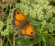 Gatekeeper Butterfly stock images