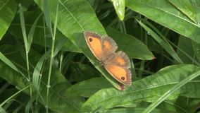 Gatekeeper butterfly close up. Gatekeeper butterfly in England close up stock video