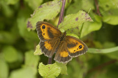 Gatekeeper Butterfly Royalty Free Stock Photo