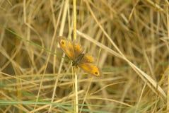 Pyronia tithonus also Gatekeeper. royalty free stock photo