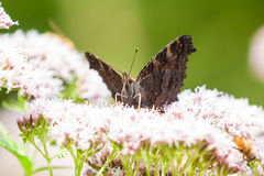 Gatekeeper butterfly Royalty Free Stock Images