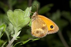 Gatekeeper butterfly - Pyronia tithonus Stock Photo