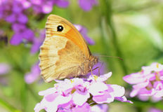 Gatekeeper Butterfly (Pyronia tithonus) Stock Photography