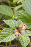 Gatekeeper Butterfly (Pyronia tithonus) Stock Image