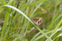 Gatekeeper Butterfly (Pyronia tithonus) Royalty Free Stock Images