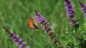 Gatekeeper Butterfly, pyronia tithonus, Adult Feeding on Buddleja or Summer Lilac, Normandy in France, stock video footage