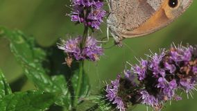 Gatekeeper Butterfly, pyronia tithonus, Adult Feeding on Buddleja or Summer Lilac, Normandy in France, stock video