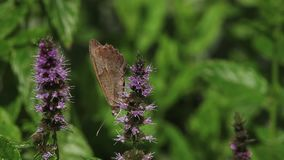 Gatekeeper Butterfly, pyronia tithonus, Adult Feeding on Buddleja or Summer Lilac, Normandy in France, stock footage