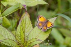 Gatekeeper Butterfly (Pyronia tithonus) Stock Images