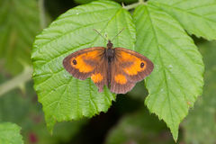 Gatekeeper Butterfly pyronia tithonus perched on plant Stock Images