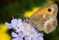 Gatekeeper Butterfly , Pyronia tithonus , on a pur Royalty Free Stock Images