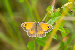Gatekeeper butterfly, Pyronia Tithonus Royalty Free Stock Photography