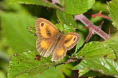 A Gatekeeper butterfly, Pyronia tithonus, in the summer sunshine. royalty free stock photos