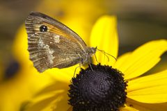 Gatekeeper Butterfly Pyronia tithonus Royalty Free Stock Photo