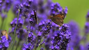 Gatekeeper Butterfly, pyronia tithonus, Sucking Nectar from Laverder Flowers, Normandy, stock video