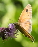 Gatekeeper Butterfly on Thistle Flower Royalty Free Stock Photography