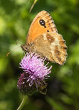 Gatekeeper Butterfly on Thistle Flower Stock Images