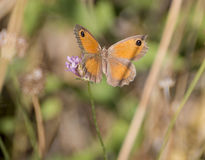 Gatekeeper butterfly Stock Photos