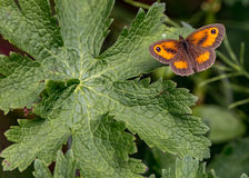 Gatekeeper butterfly & x28;male& x29; & x28;pyronia tithorus& x29; Royalty Free Stock Images