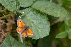 The Gatekeeper or Hedge Brown Pyronia tithonus butterfly resti Stock Image