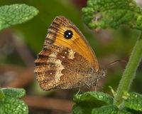 Gatekeeper on mint. Gatekeeper butterfly feeding on mint flowering in english country garden royalty free stock photos