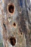 Gaten in een oude boom Stock Fotografie