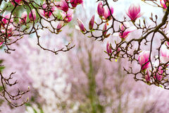 Gateway to spring, japanese magnolia Royalty Free Stock Photos